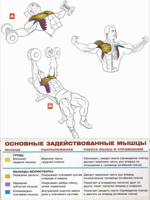 Разведения рук с гантелями, лежа (для грудных мышц):